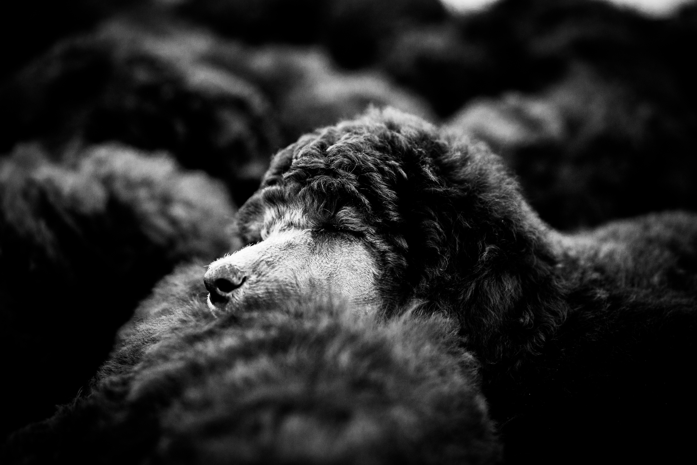Welpen, Welpenfoto, Großpudel, Großpudelwelpe, Hundefoto, Hundefotografin, Hundefotografin Niederbayern, Hundefotografie Niederbayern,